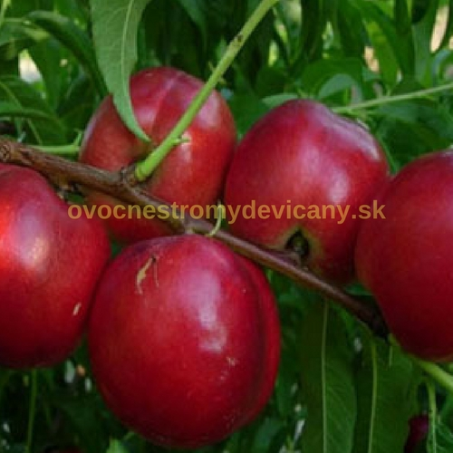 venus nektarinka