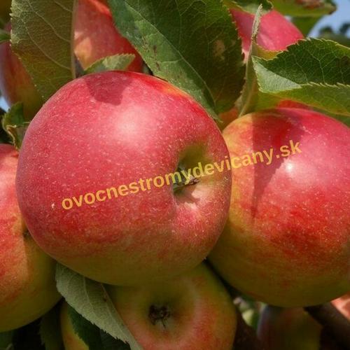 jabloň šampión