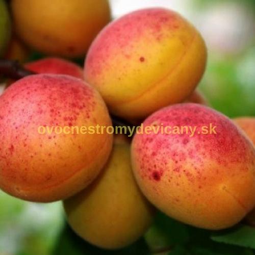marhula orangered