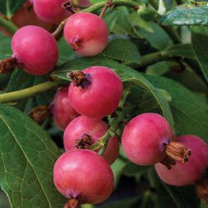 čučoriedka kanadská pink blueberry